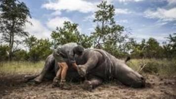 zunahme der nashorn-wilderei in südafrika