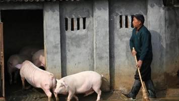 """Weltgrößte Schweinefleisch-Industrie - 10.000 Tiere im """"Schweinehotel"""": Wie China versucht, seine Viehzucht zu retten"""