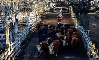 die emissionen der fleisch-industrie sind größer als bisher angenommen