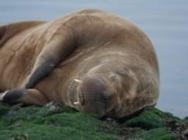 Walross in der Nordsee: Chillen im Wattenmeer