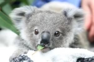 Tiere: Studie: Zahl der Koalas in Australien sinkt rapide