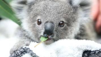 tiere: zahl der koalas in australien sinkt rapide