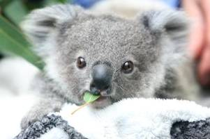 Zahl der Koalas in Australien sinkt rapide