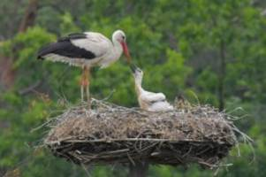 tiere: schlechte prognose für storchennachwuchs