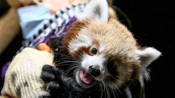 Roter Panda im Berliner Tierpark nach Unions-Trainer getauft