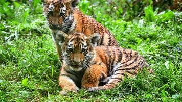 malinka und kasimir: mini-tiger im zoo bekommen namen