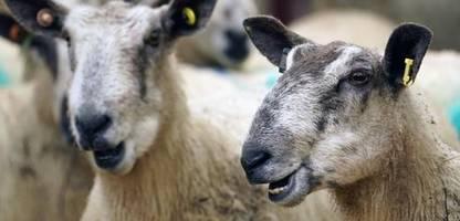 handelsabkommen mit neuseeland: britische landwirte fürchten das billigfleisch