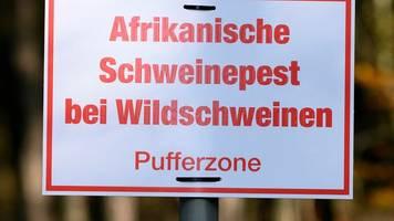 afrikanische schweinepest: bayern verschärft maßnahmen