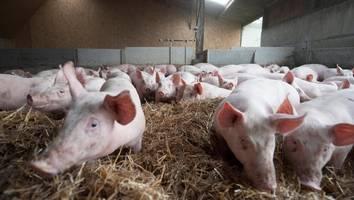inselstaat hat nicht genügend schlachter - während britische bauern tiere keulen, flutet deutsches schweinefleisch ihren markt